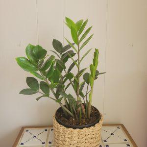 zz plant in a basket
