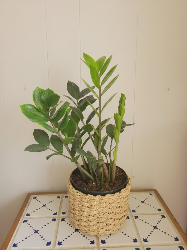 zz plant in a basket scaled