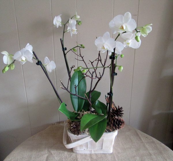 Country Orchid