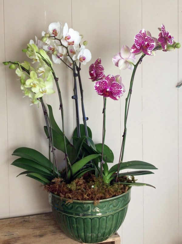 bountiful orchids