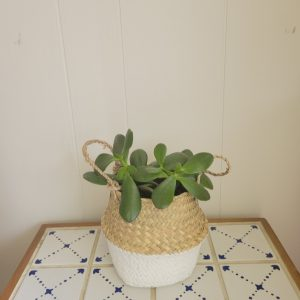 Jade plant in a Basket