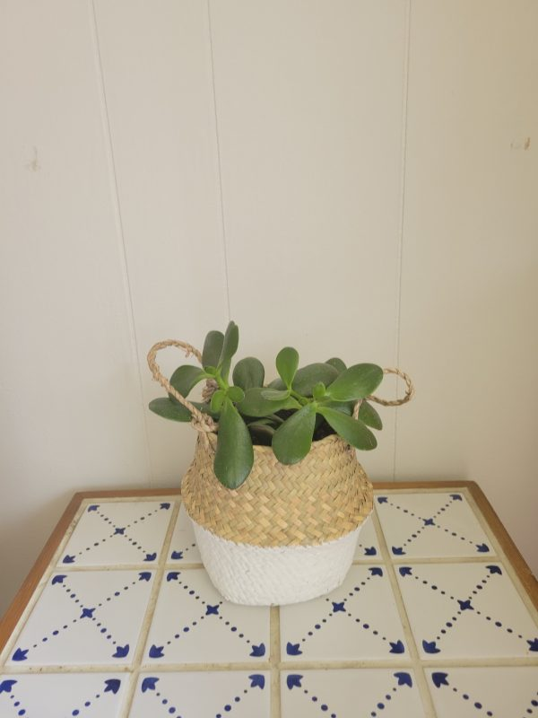 Jade plant in a Basket scaled